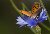 Lycaena phlaeas — Stock Photo