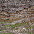 Roe deer — Foto de stock #12139992