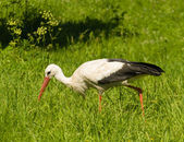White Stork Ciconia ciconia — Stock Photo