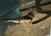 Swallow — Stock Photo