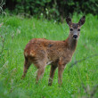 Young Roe deer — Stock Photo #12140029
