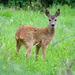 Young Roe deer — Stock Photo #12140056