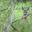 Young Roe deer — Foto Stock