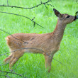 Young Roe deer — Stock Photo #12140182