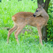 Young Roe deer — Stock Photo #12140247
