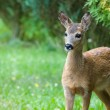 Young Roe deer — Stock Photo #12140510