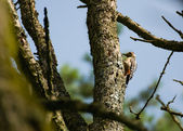 Great Spotted Woodpecker Dendrocopos major — Stock Photo
