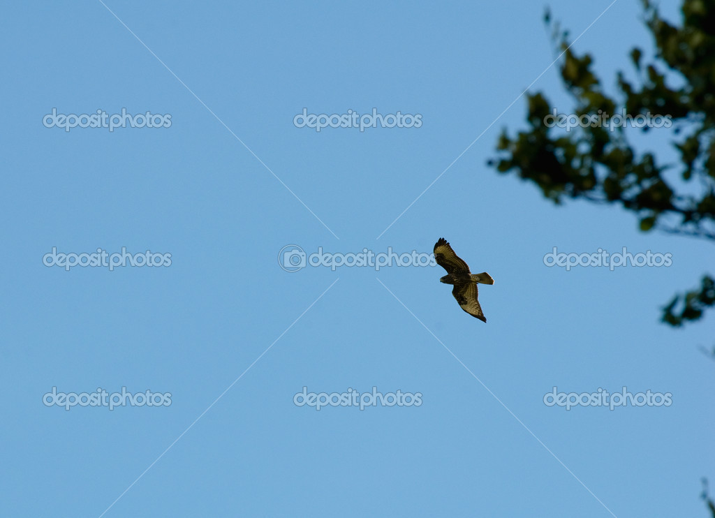 Buzzard common Buteo buteo  Stock Photo #12143524