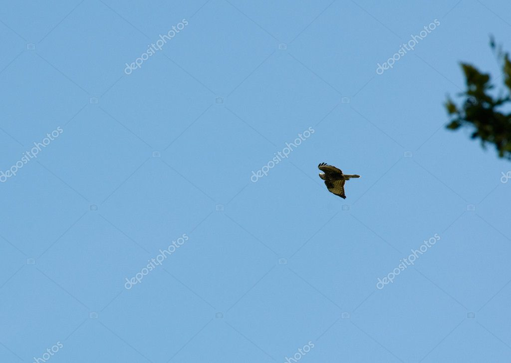 Buzzard common Buteo buteo — Stock Photo #12143535