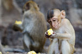 Monkey sitting eating corn. — Stock Photo