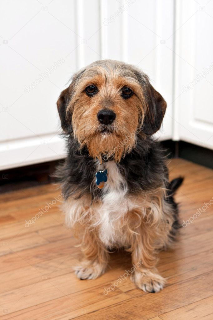 A cute mixed breed Borkie dog. The dog is half beagle and half yorkshire terrier. — Stock Photo #11437868