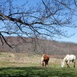 Beautiful Horses Grazing - Stockfoto