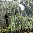 Old wood texture with moss and lichens — Stock Photo