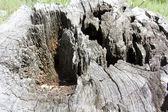 Texture of wood, the hollow stump of an old tree — Stock Photo