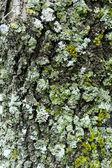 Lichenes 树树皮纹理 — 图库照片