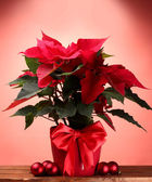 Beautiful poinsettia in flowerpot and Christmas balls on wooden table on red background — Stock Photo