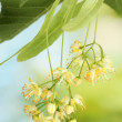 Branch of linden flowers in garden — Stock Photo #10814872