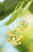 Branch of linden flowers in garden — Stock Photo