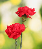 Two red carnation on green — Stock Photo