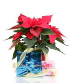 Beautiful poinsettia with different presents isolated on white — Stock Photo