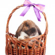 Royalty-Free Stock Photo: Lop-eared rabbit in a basket with purple bow isolated on white