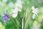 Beautiful bright irises on green background — Stock Photo