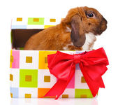Lop-eared rabbit in a gift box with red bow isolated on white — Stock Photo