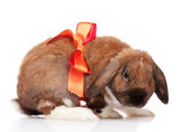 Lop-eared rabbit with red bow isolated on white — Stock Photo