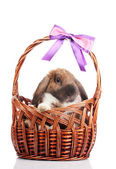 Lop-eared rabbit in a basket with purple bow isolated on white — Stock Photo