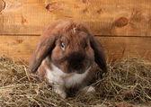 Lop-eared kaninchen in einem heuhaufen auf hölzernen hintergrund — Stockfoto