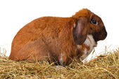 Lop-eared rabbit in a haystack on white background — Stock Photo