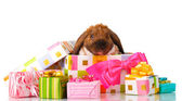 Lop-eared rabbit in a gift box with pink bow isolated on white — Stock Photo