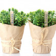 Stock Photo: Thyme herb plants in pots with beautiful paper decor isolated on white