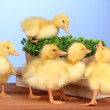 Duckling and bush on wooden table on blue background - Stock Photo