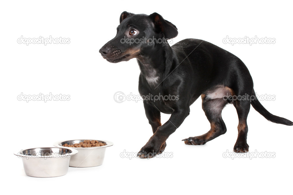 Black little dachshund dog and food isolated on white — Stock Photo #10940938