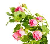 Pequenas rosas isoladas no branco — Foto Stock