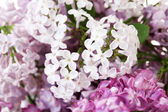 A bouquet of lilacs close-up — Stock Photo