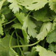 Stock Photo: Fresh coriander or cilantro close-up