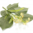 Branch of linden flowers isolated on white - Stock Photo