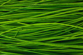 Beautiful green onion chives closeup — Stock Photo