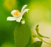 Beautiful jasmine flower with leaves on green background — Stock Photo