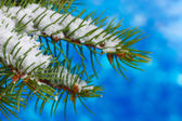 зеленые елки на синем — Стоковое фото