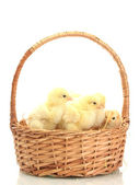 Beautiful little chickens in basket isolated on the white — Stock Photo