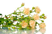 Rosas pequeñas aisladas en blanco — Foto de Stock