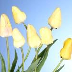 Beautiful tulips on blue background — Stock Photo #11027886