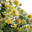 Medical chamomile close-up — Stock Photo #11028837