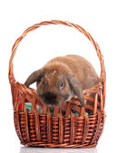 Lop-eared rabbit in a basket isolated on white — Stock Photo