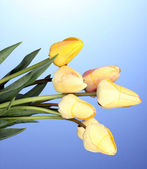 Hermosos tulipanes sobre fondo azul — Foto de Stock