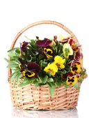 Beautiful violet pansies in basket isolated on a white — Stock Photo