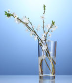 Beautiful cherry blossom in vase on blue background — Stock Photo